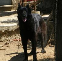 Foto 2 Kira, Belgischer Schäferhund