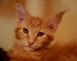 Kitten vom World Champion HCM + PKD negativ