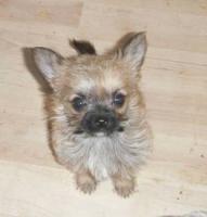 Foto 2 Kleinbleibende Wuschelwelpen !! Süße Chihuahuamixis