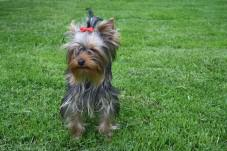 Foto 2 Kleinbleibende Yorkshire Terrier Hündin