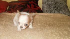 Foto 3 Kleine Chihuahua Hündin
