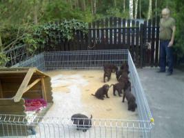 Foto 2 Kleine süße Herzensbrecher Labradorwelpen sucht noch nette Leute zum kuscheln und schmussen.