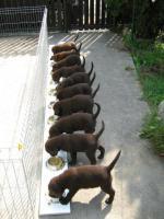 Foto 3 Kleine süße Herzensbrecher Labradorwelpen sucht noch nette Leute zum kuscheln und schmussen.