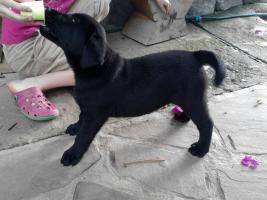 Foto 6 Kleine süße Herzensbrecher Labradorwelpen sucht noch nette Leute zum kuscheln und schmussen.