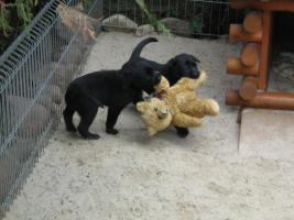 Foto 7 Kleine süße Herzensbrecher Labradorwelpen sucht noch nette Leute zum kuscheln und schmussen.