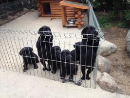 Foto 8 Kleine süße Herzensbrecher Labradorwelpen sucht noch nette Leute zum kuscheln und schmussen.