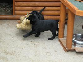 Foto 9 Kleine süße Herzensbrecher Labradorwelpen sucht noch nette Leute zum kuscheln und schmussen.