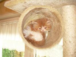 Foto 2 Kleine, süße Perserkitten (10 Wochen alt) in liebevolle Hände zu geben