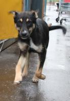 Kleiner Deutscher Schaeferhund-Mischling 5 monate aus Russland