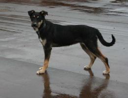 Kleiner Terrier-Schaeferhund  8 monate aus Russland