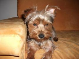 Foto 2 Kleiner süßer reinrassiger Yorkshire Terrier