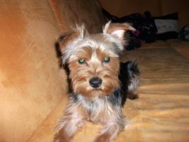 Foto 3 Kleiner süßer reinrassiger Yorkshire Terrier