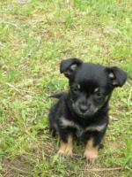 Foto 4 Kleines Chihuahua-Mädchen sucht neues Zuhause!!!