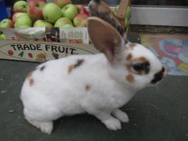 Foto 2 Kleinrex Kaninchen