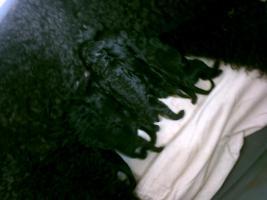 Königspudelwelpen in schwarz