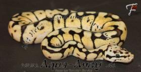 Foto 2 Königspython Python regius verschiedene Varianten ________________________________________  Wissenschaftlicher Name : Python regius Deutscher Name : Königspython Synonyms : Ball Python, Ballsnake, Royal python, Shame snake, pitón real, python royal Varian