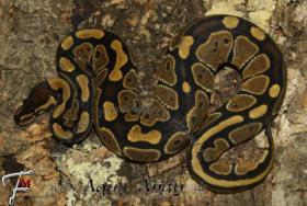 Foto 3 Königspython Python regius verschiedene Varianten ________________________________________  Wissenschaftlicher Name : Python regius Deutscher Name : Königspython Synonyms : Ball Python, Ballsnake, Royal python, Shame snake, pitón real, python royal Varian