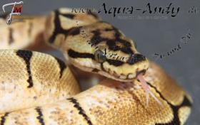 Foto 4 Königspython Python regius verschiedene Varianten ________________________________________  Wissenschaftlicher Name : Python regius Deutscher Name : Königspython Synonyms : Ball Python, Ballsnake, Royal python, Shame snake, pitón real, python royal Varian