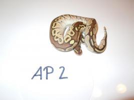Königspython / Python Regius NZ 2012