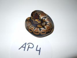 Foto 4 Königspython / Python Regius NZ 2012