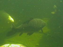Foto 3 Koi-Karpfen, schwarz
