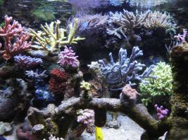 Korallenableger zu verkaufen