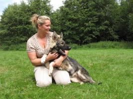 Foto 2 Kräftige knochen und fellstarke Altdeutsche Schäferhunde mit festem Wesen und geradem Rücken!
