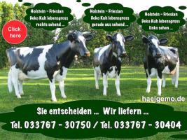 Foto 5 #Krippenfiguren als Gartendekoration zur Weihnachtszeit ... oder doch ne Holstein Kuh ...