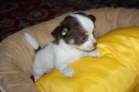 Kurzhaar Chihuahua Welpen