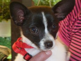 Kurzhaar Chihuahua sucht neue Familie