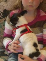 Foto 2 Kurzhaar Chihuahua sucht neue Familie