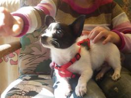 Foto 3 Kurzhaar Chihuahua sucht neue Familie