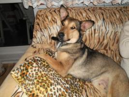 Foto 5 Kuschel Hündin ''Cleo'' aus dem Tierschutz sucht Zuhause bei Ihnen!