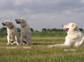 Foto 3 Kuvasz - Kuvaszhündin; 2 bezaubernde Junghündinnen suchen ein liebevolles Zuhause