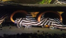 L046 zebra Hypancistrus