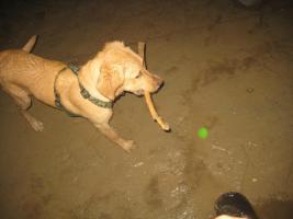 LOKI Labrador Mischling aus Bochum , bitte zurückgeben