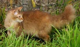 Foto 2 LaPerm die Katze mit den Dauerwellen