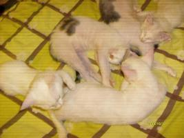 Foto 3 LaPerm die Katze mit den Dauerwellen