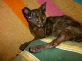 LaPerm Kitten glatthaarig