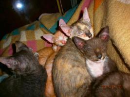 Foto 3 LaPerm Kitten glatthaarig