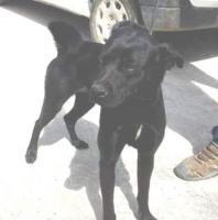 Labbi Labrador Mix DESI sucht ein Zuhause oder PS