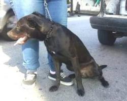 Labbi Labrador Mix GOLFO sucht ein zuhause oder PS