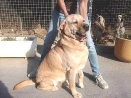 Labbi Labrador Mix LARVI sucht ein Zuhause oder PS