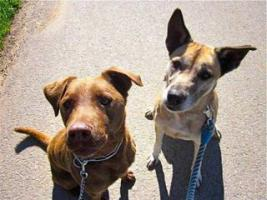 Foto 2 Labbi Labrador Mix NASTY sucht ein zuhause oder PS