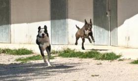 Foto 5 Labbi Labrador Mix RAMSES sucht ein Zuhause oder PS