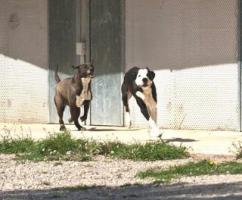Foto 11 Labbi Labrador Mix RAMSES sucht ein Zuhause oder PS
