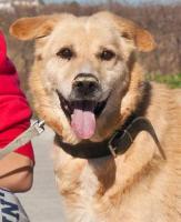 Labbi Labrador Mix ROBIN sucht ein Zuhause oder PS
