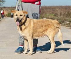 Foto 2 Labbi Labrador Mix ROBIN sucht ein Zuhause oder PS