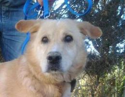 Foto 7 Labbi Labrador Mix ROBIN sucht ein Zuhause oder PS