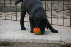 Foto 5 Labrador